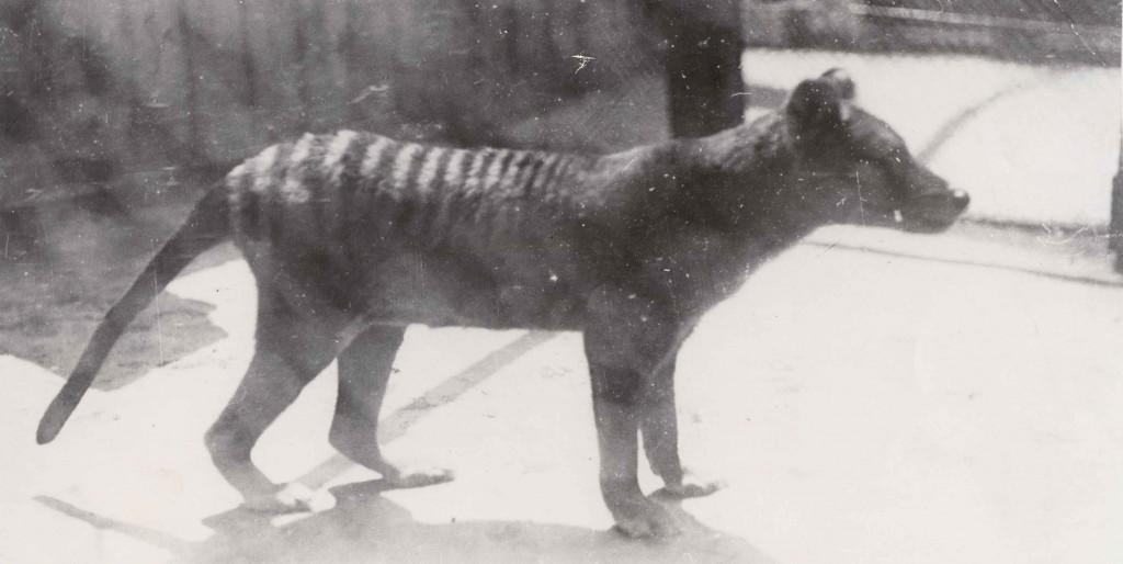 tasmanian tiger, thylacine, hobart zoo, beaumauris zoo, hobart, tasmania
